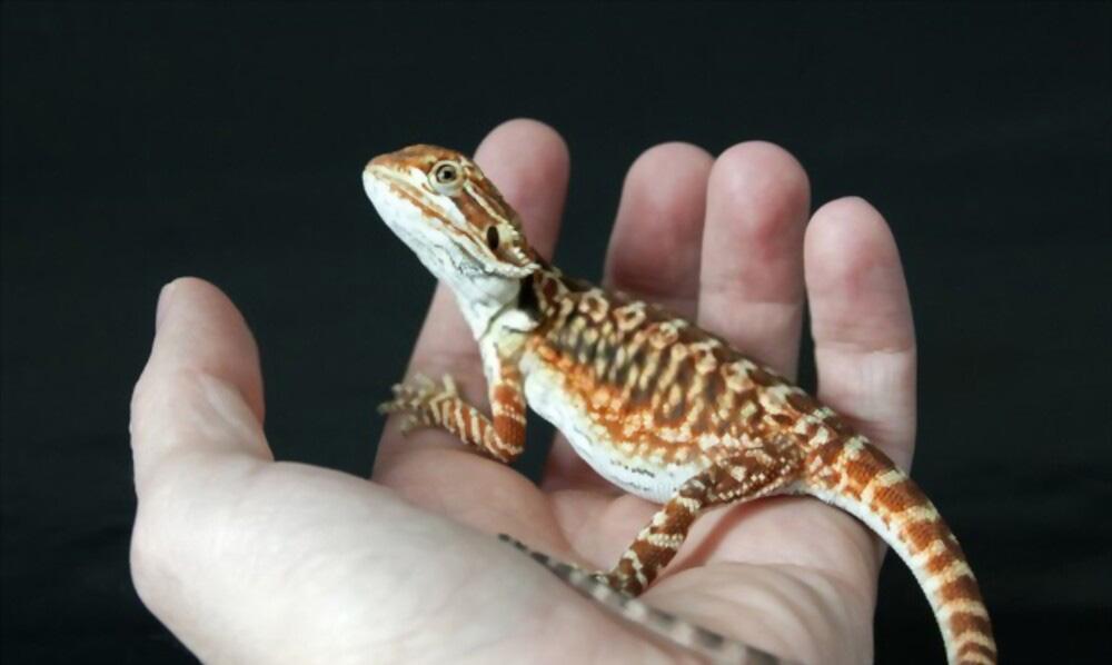 leatherback-bearded-dragon