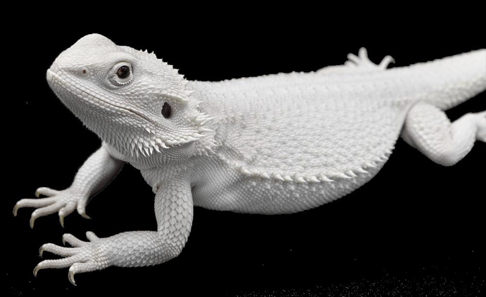 wero-bearded-dragon