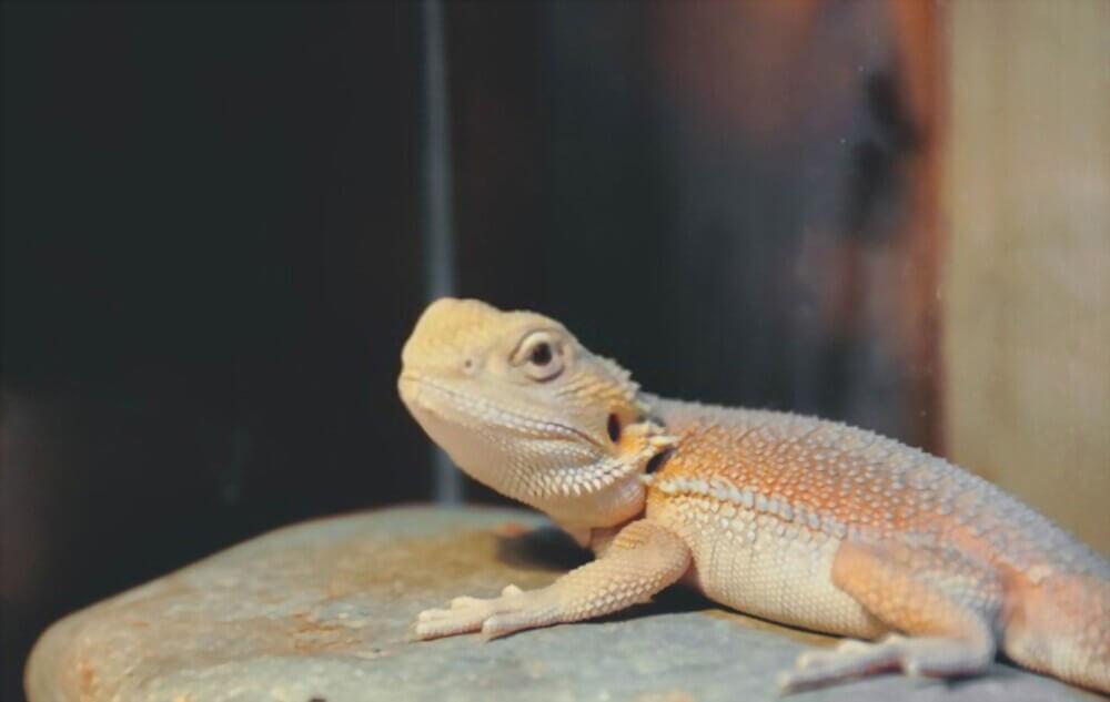 witblits-bearded-dragon