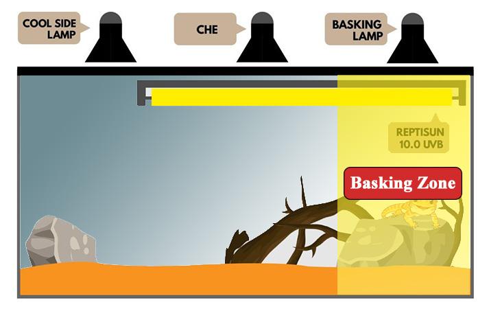 bearded-dragon-basking-light