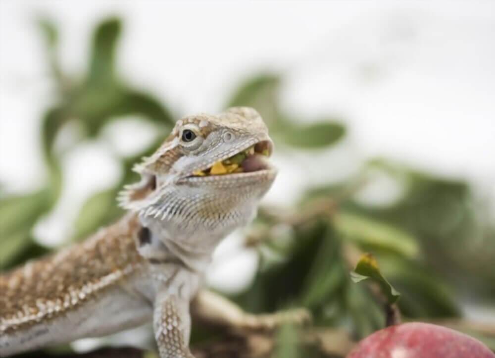 bearded-dragon-eating-greens