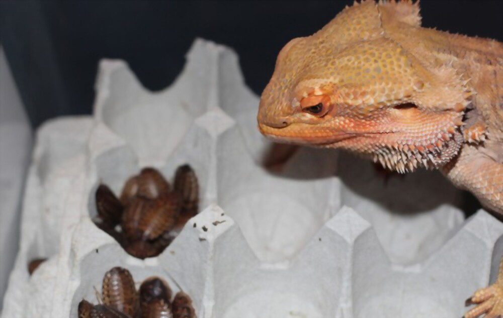 bearded-dragon-eating-insects