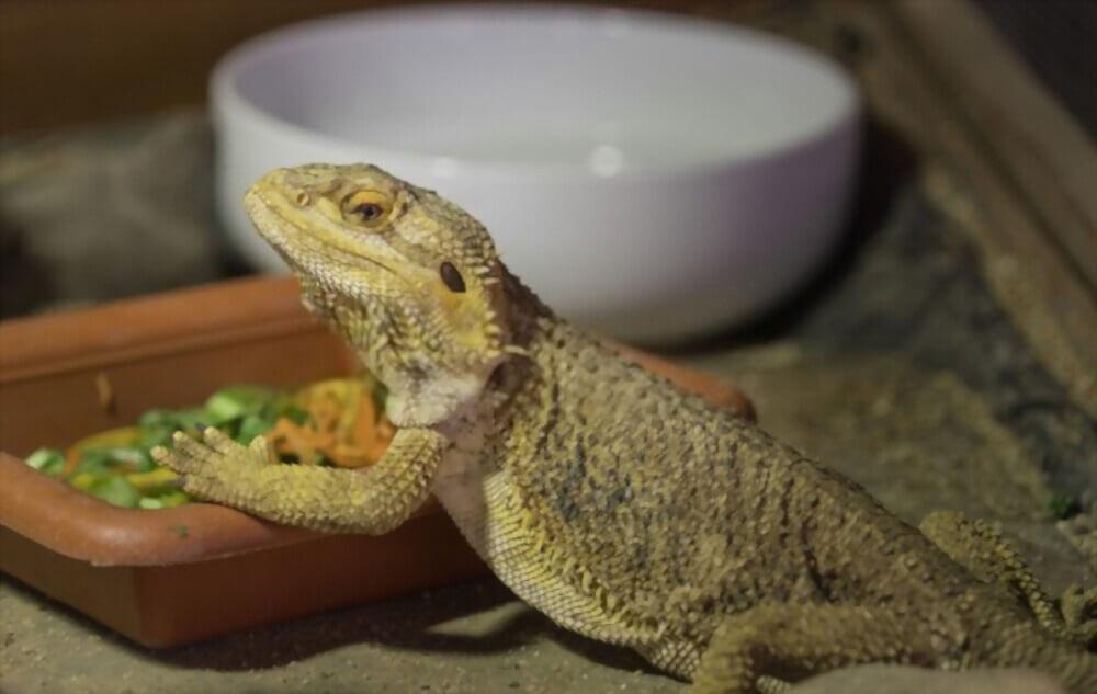 bearded-dragon-eating-veggie